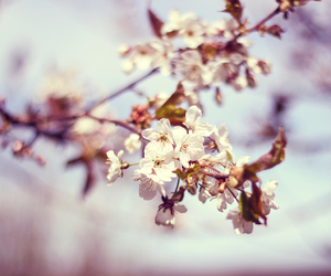 beautiful, cherry blossom, and photography image