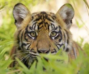 baby animals, big cats, and tigers image
