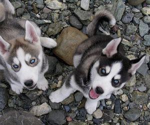 adorable, blue eyed, and huskies image