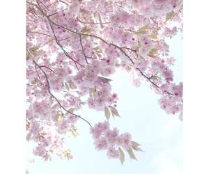 cherry blossom, flowers, and girly image