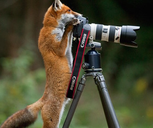 fox, adorable, and animals image