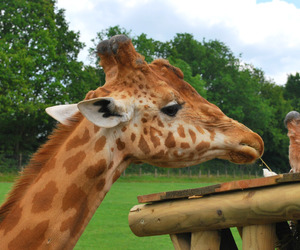 animal, giraffe, and quality image