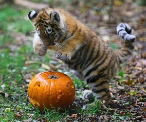 animal, pumpkin, and tiger image