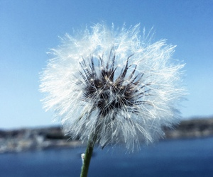 dandelion, freedom, and malta image