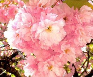 beauty, flowers, and blossom image