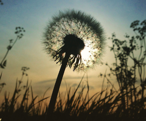 beautiful, dandelion, and grass image