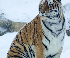 beautiful, tiger, and snow image