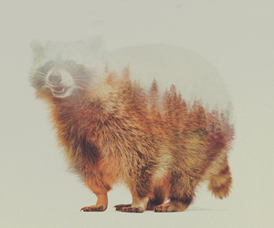 racoon and woods image