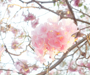 cherry blossom, thailand, and flower image