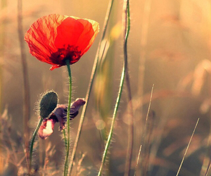 flowers and poppy image