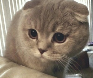 cat and scottish fold image