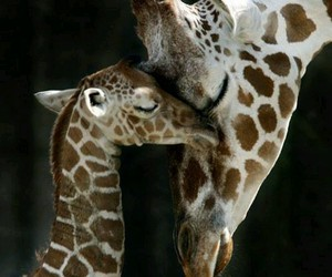 giraffe, love, and animal image