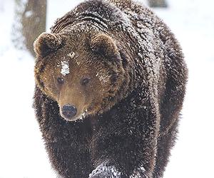 animal, bear, and snow image