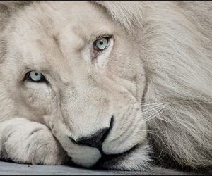 Animais, gorgeous, and lion king image