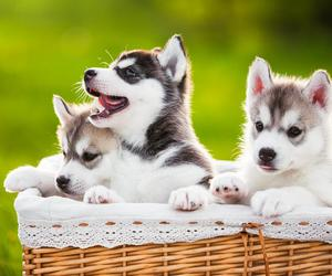 animal, dogs, and spring siberians image