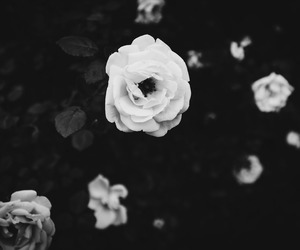 black and white, flower, and rose image