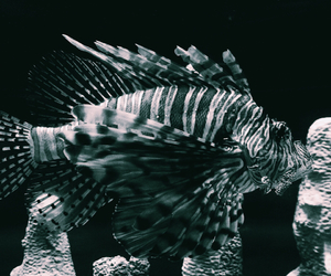 black and white, exotic, and fish image