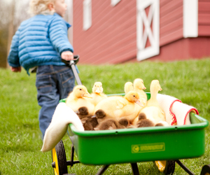 carrying, farm, and duck image