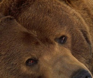 animali, bruno, and grizzly image