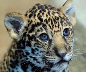 baby animals, jaguar, and big cats image
