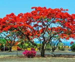 arbre, flamboyant, and tres beau image