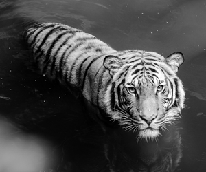 tiger, beautiful, and black and white image