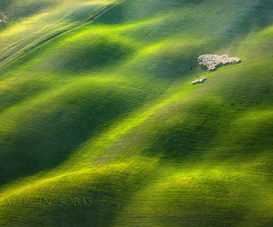 sheep, green fields, and tuscan fields image