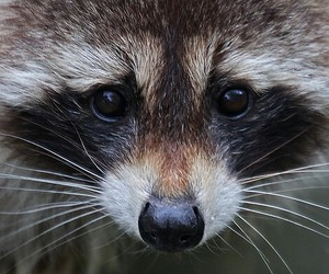 racoon, wild, and cuttie image