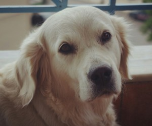dog, golden, and retriever image