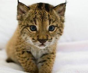 baby animals, cute animals, and wild cats image
