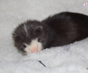 ferret, lovely, and huron image