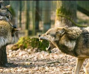 animal, nature, and wolf image