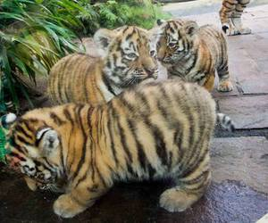 adorable, baby tiger, and cute image