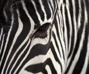 zebra, animal, and eye image