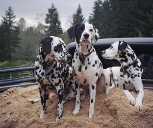 dalmatian, dogs, and breeds image