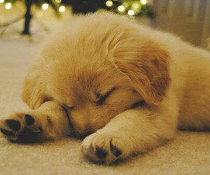 fluffy, golden retriever, and cute image
