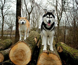 dogs, husky, and puppies image
