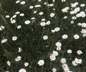 flowers, daisy, and mountains image