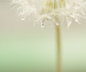 dandelion, nature, and photography image