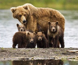 bear, cub, and cute animals image