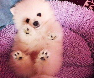 dog, pomeranian, and puppy image