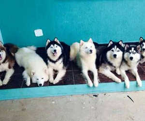 family, happy, and husky image