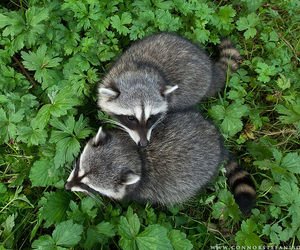 animal, raccoon, and grass image