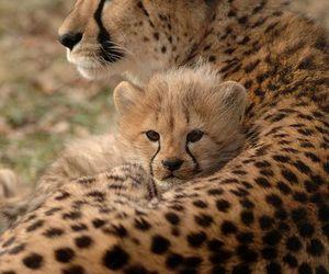 cheetah image