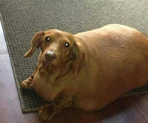 dog and fat image