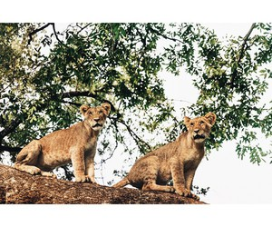 africa, lion cubs, and lions image