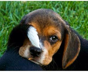 beagle, canon, and dog image