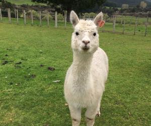 alpacas image