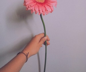 flower, gerbera, and pink image