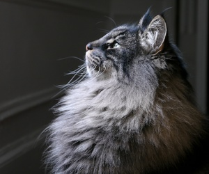 beautiful, cat, and fluffy image